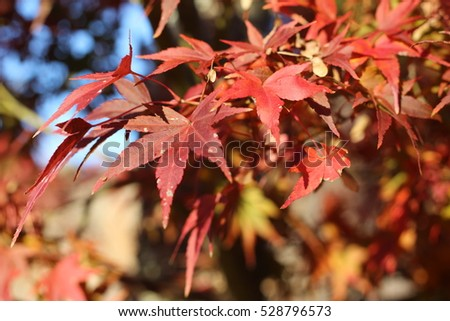 Leaf of a maple which turns red #528796573