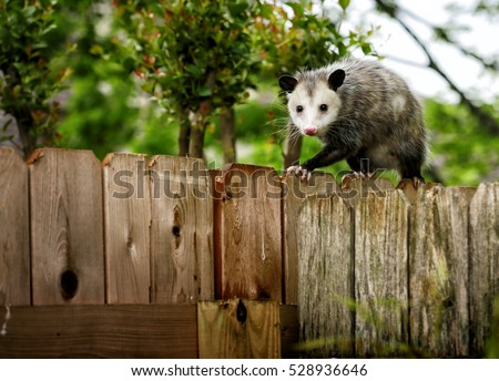Common Opossum walking on new backyard fence
