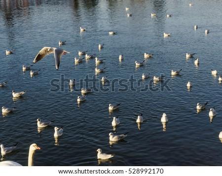 gulls on river in austria #528992170