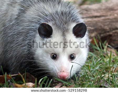 shy female possum in grass