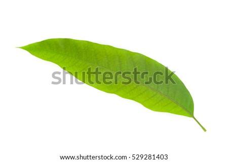 Green Mango leaf isolated on  white background #529281403