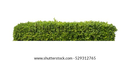 green bush isolated on white background Royalty-Free Stock Photo #529312765