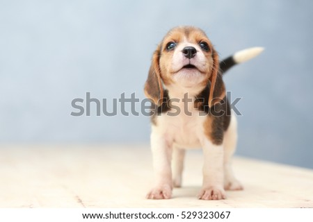 small cute beagle puppy dog looking up Royalty-Free Stock Photo #529323067
