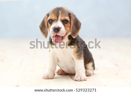 small cute beagle puppy dog looking up #529323271