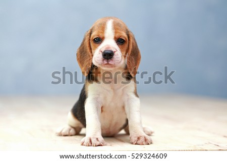 small cute beagle puppy dog looking up #529324609