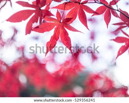 Autumn leaves Japan #529356241