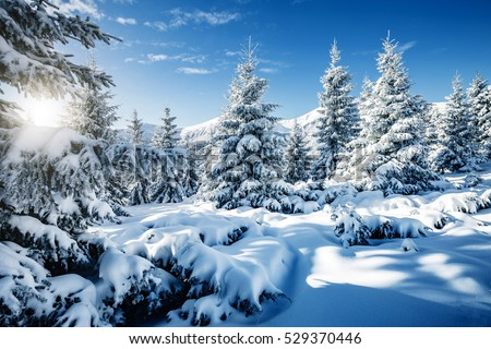 Majestic white spruces glowing by sunlight. Picturesque and gorgeous wintry scene. Location place Carpathian national park, Ukraine, Europe. Alps ski resort. Blue toning. Happy New Year! Beauty world. #529370446