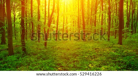 Forest with sunlight. The sun rays through branches of trees #529416226