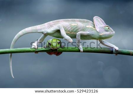 reptile, reptiles, chameleon, macro, animal, animals, indonesia, chameleon veiled, chameleon with frog, dumpy frog, tree frog, frog, Royalty-Free Stock Photo #529423126