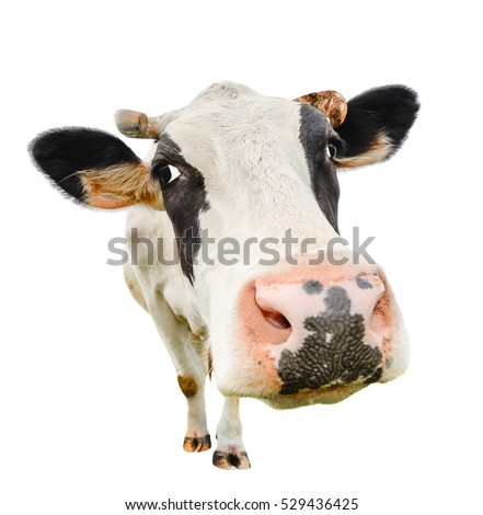 Funny cute cow isolated on white. Talking  black and white cow close up. Funny curious cow.  Farm animals. Pet cow isolated on white close looking at the camera  #529436425