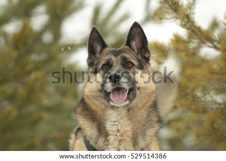 Portrait of the dog in a forest. A german sheppard crosbreed on a close up picture. #529514386