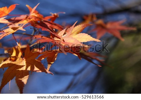 Red and yellow autumn foliage with blue sky in the background #529613566