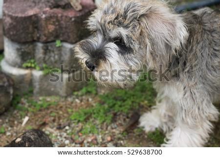 puppy #529638700