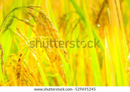 Golden Rice field and green grass blue sky cloud cloudy landscape background. Soft focus of rice farm landscape with the sun light.  Wheat farming as concept. #529691245