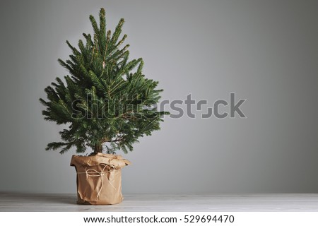 Pretty bushy danish Christmas tree without decorations in a large pot wrapped in craft paper with space for your message on light gray background #529694470