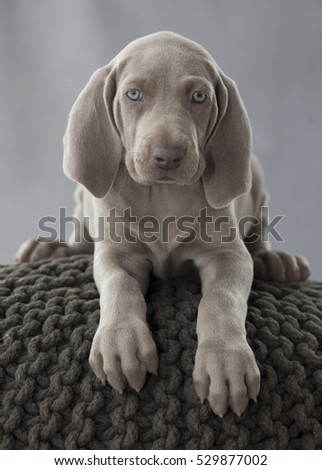 weimaraner puppy dog on the pillow in studio #529877002