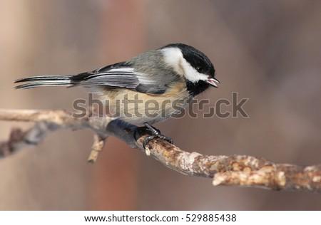 Chickadee in winter #529885438