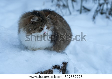 russian wild cat in snow in winter forest #529887778