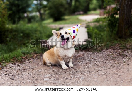 Corgi dog in fancy cap smilining