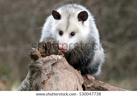 female possum in search of grubs