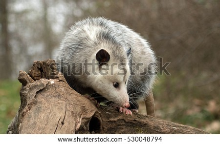 profile of female possum on tree branch