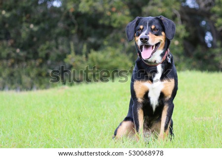 Entlebucher Mountain Dog Sitting in the Grass #530068978