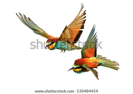 Birds of Paradise fighting in flight isolated on a white background,bee-eaters ,Merops Apiaster Royalty-Free Stock Photo #530484454