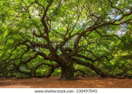 Angle Oak Tree in Johns Island, South Carolina.  Royalty-Free Stock Photo #530497045