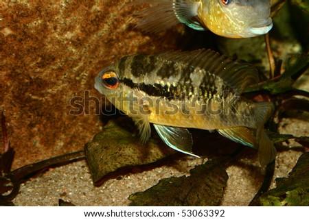 Cichlid (Bujurquina spec.) - Female at the clutch #53063392
