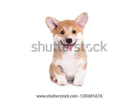 Cute Puppy Corgi Pembroke on a white background Royalty-Free Stock Photo #530685676
