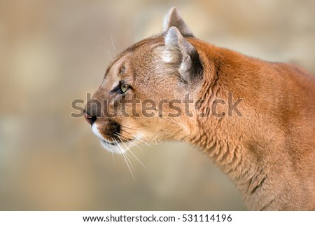 Head and shoulder picture of puma against a light background
