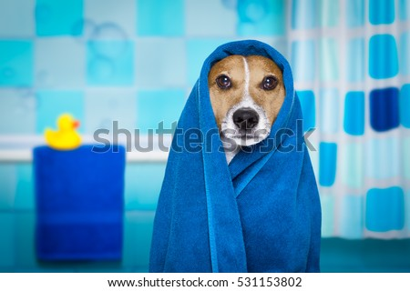jack russell dog in a bathtub not so amused about that , with blue  towel, having a spa or wellness treatment, in the bath or bathroom #531153802