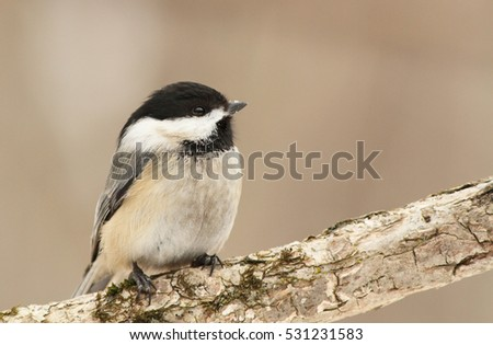 Chickadee in winter #531231583