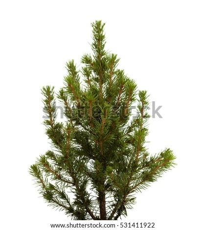 small spruce tree isolated on white background #531411922