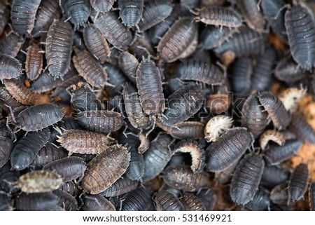Mass of rough woodlice (Porcellio scaber). Terrestrial crustaceans in the familiy Porcellionidae, exposed under bark of dead log #531469921