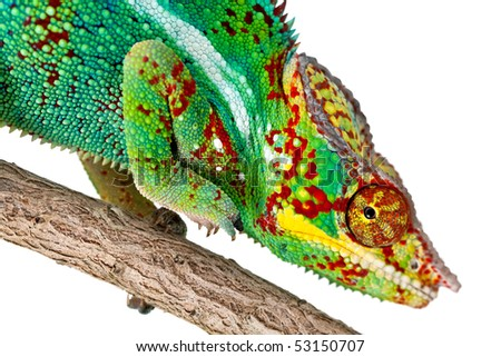 Closeup of a colorful Chameleon on a tree branch isolated against a white background. #53150707