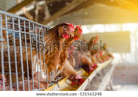 Eggs Chickens ,hens in cages  industrial farm #531563248