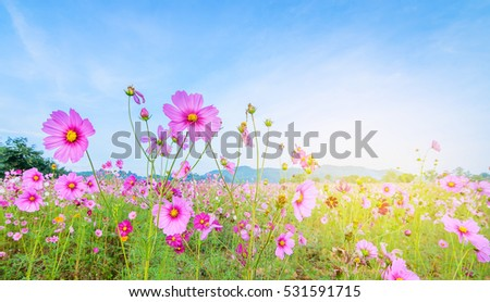 Cosmos flowers in blooming with sunrise background and mountain landscape.  #531591715