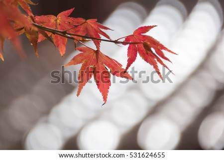 maple leaf red autumn sunset tree blurred background #531624655