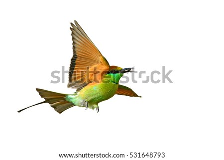 Beautiful bird, Green Bee-eater (Merops orientalis) flying on white background, Thailand #531648793