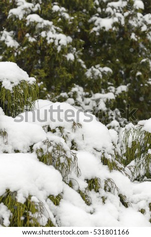Coniferous trees covered by snow in winter forest #531801166