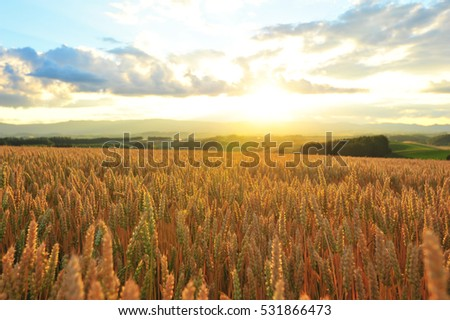 Sunset Over The Barley Field in Summer #531866473