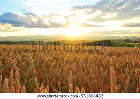 Sunset Over The Barley Field in Summer #531866482