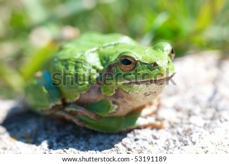 Green frog with grass background #53191189