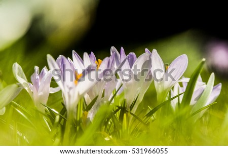 Beautiful white crocus flowers on a natural background in spring #531966055