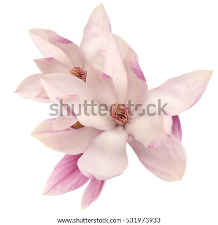 magnolia open flowers isolated on white background