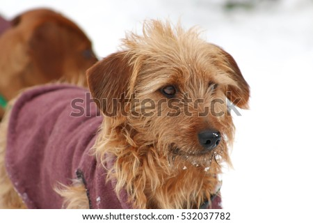 Dog with coat in the snow.  #532037782