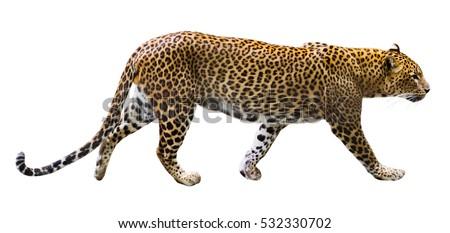 Adult predator on white background