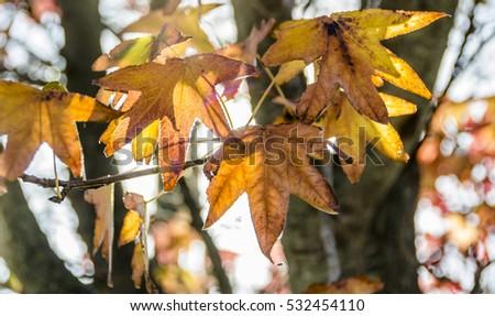 Autumn Leaves #532454110