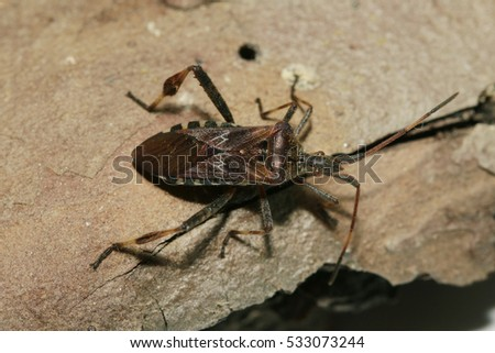 Western conifer seed bug - an American bug species invasive in Europe. Close up picture of the alien insect.